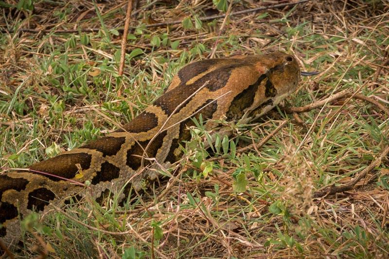 giant head of a python in sri lanka on safari