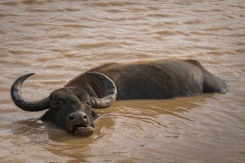 safari in sri lanka water buffalo