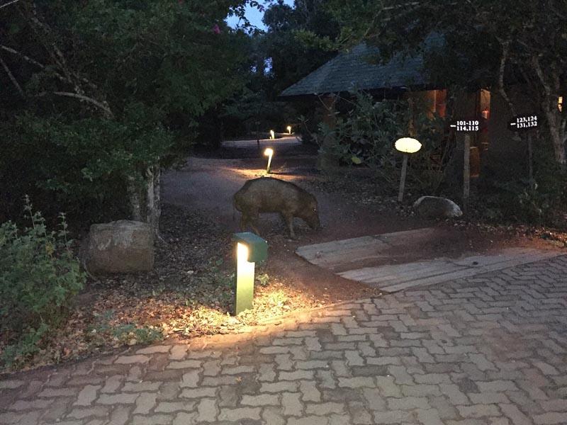 safari in sri lanka wild pig at night