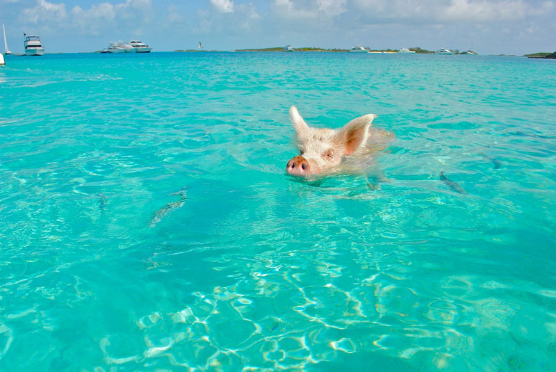 exuma cays swimming pigs