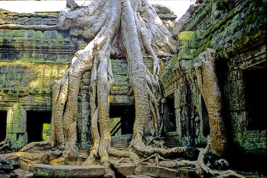 The trees of Ta Prom temple at Angkor wat