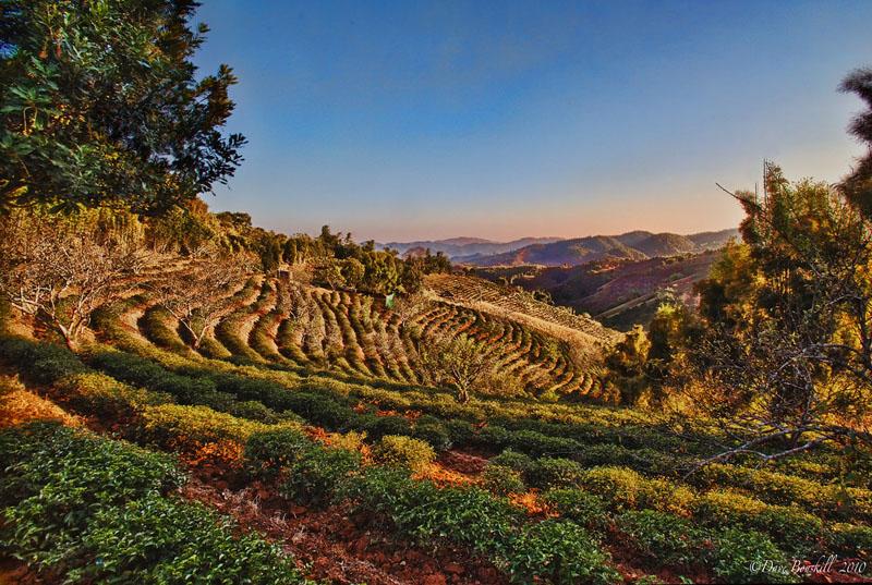 Tea Terraces in Thailand, An Alternative to the Opium Trade