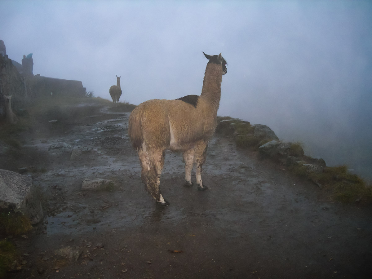 Things to do in Peru Llama
