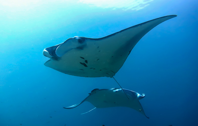 what to do in bali dive with manta rays