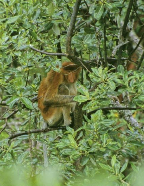 things to do in borneo monkey