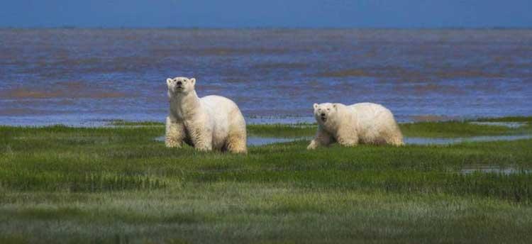two polar bears on green tundra in Manitoba Canada