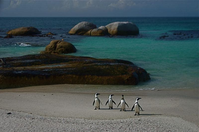 penguins of simon's town