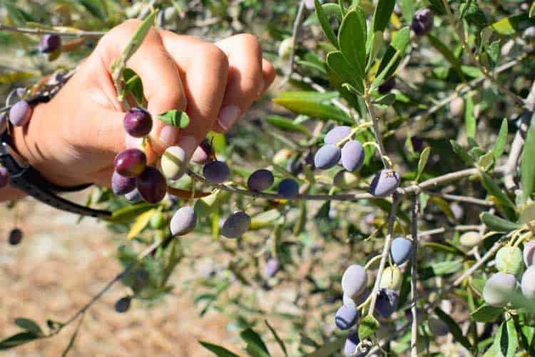 оливковые деревья Крит, Греция