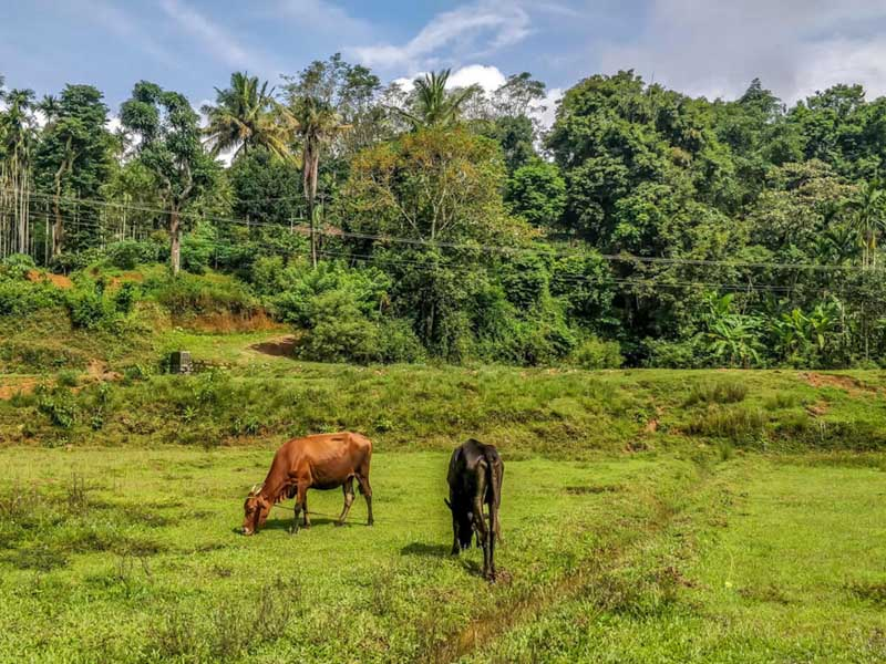 Best Places to visit in Karnataka Coorg cows grazing in field