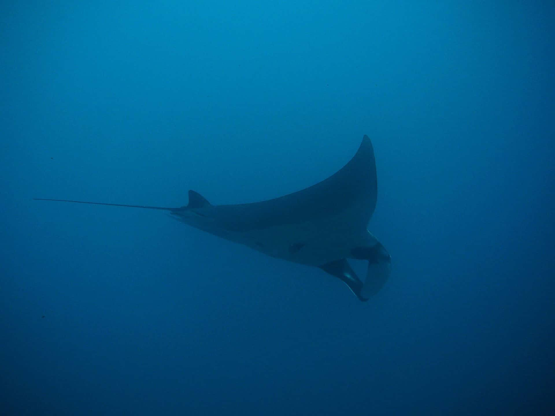 manta ray swimming pix