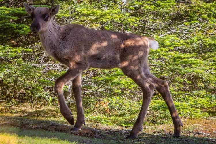 woodland caribou walking canada