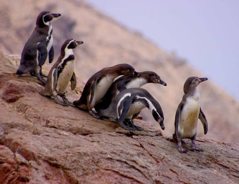 penguins at isla ballestas