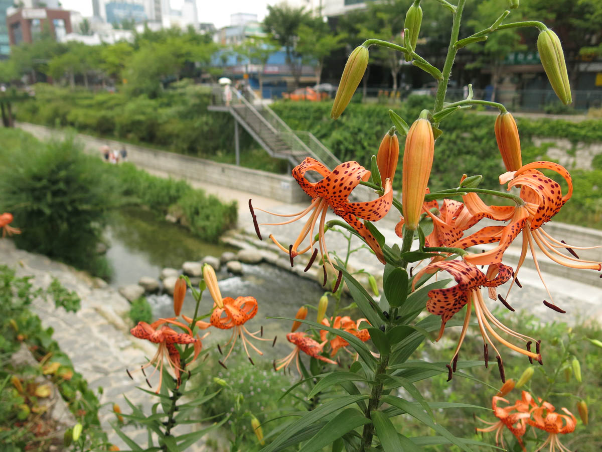 Visit the Cheonggyecheon Stream in Seoul