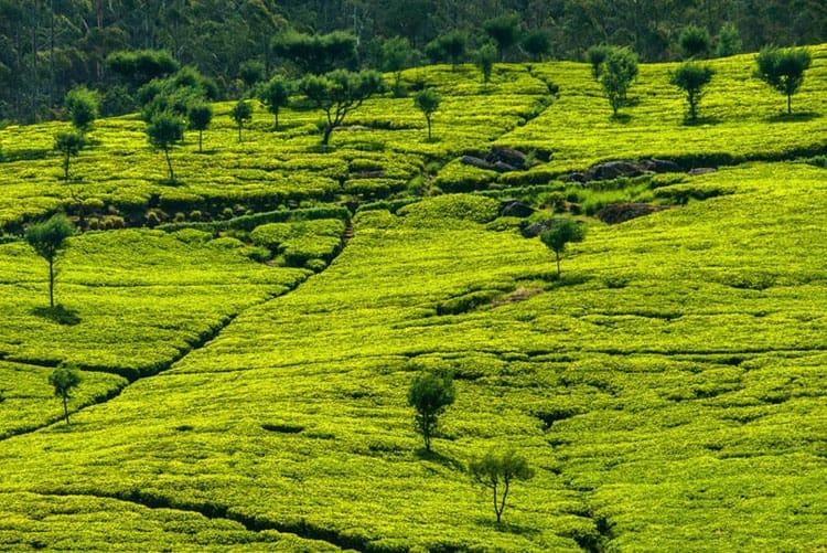 sri lanka things to do tea terraces
