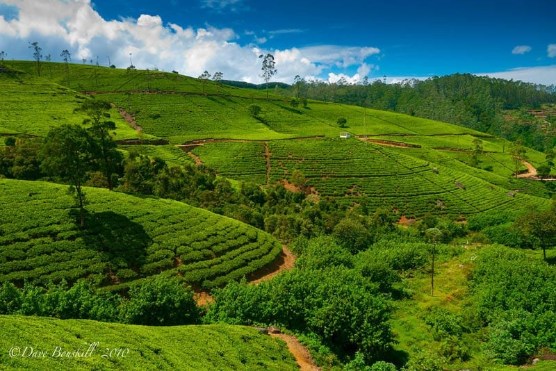 what to do in Sri lanka, tea terraces
