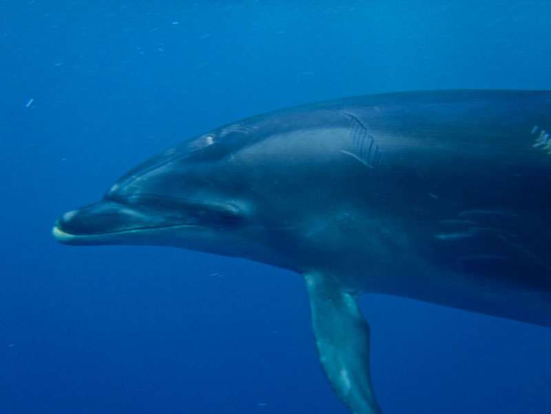 dolphin in the caribbean