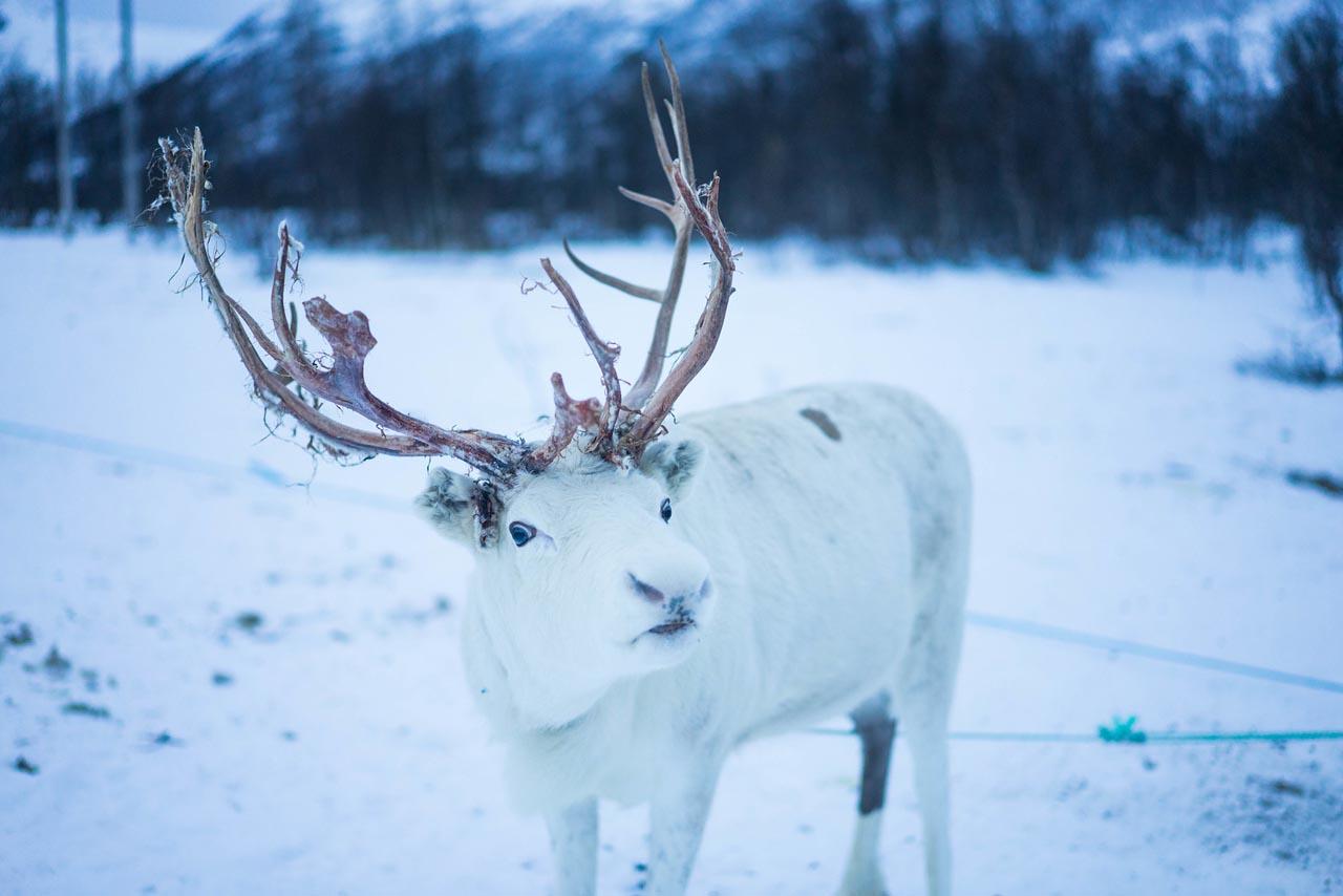tromso norway reindeer herders