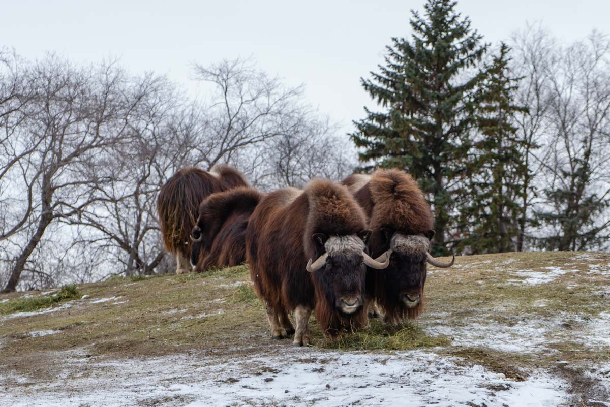 Thing to do in WinnipegMuskox at the Assiniboine Zoo
