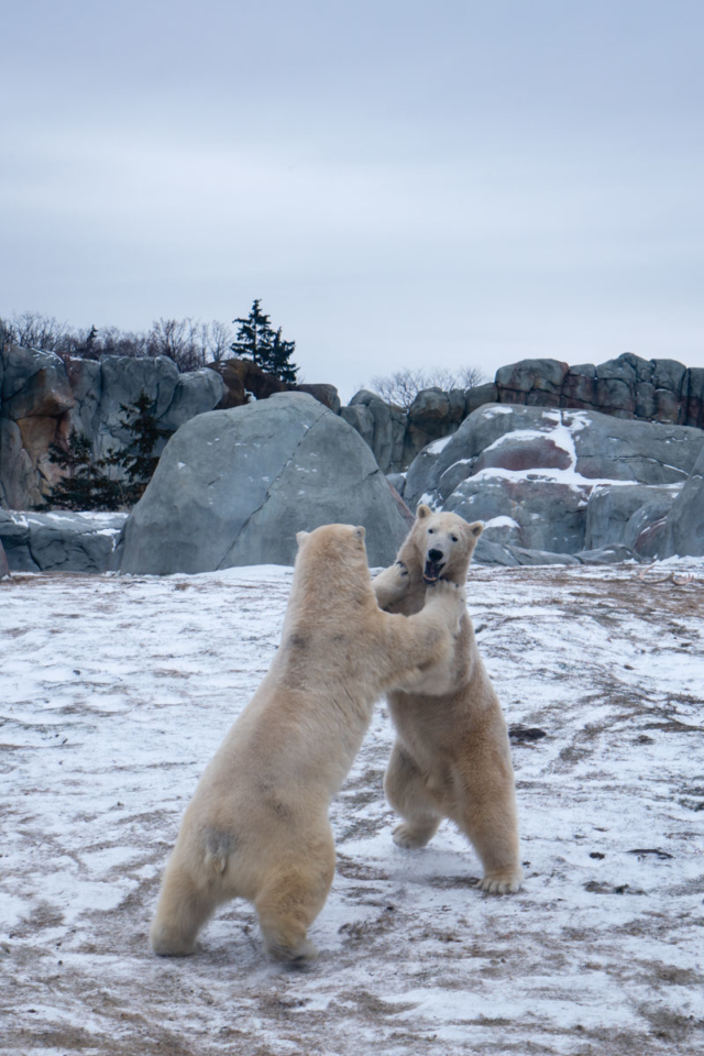 Thing to do in Winnipeg Polar Bears at Assiniboine Zoo