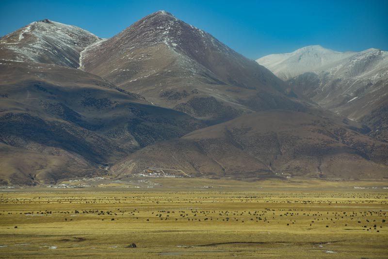 Яки пасутся на Тибетском плато, вид с поезда.