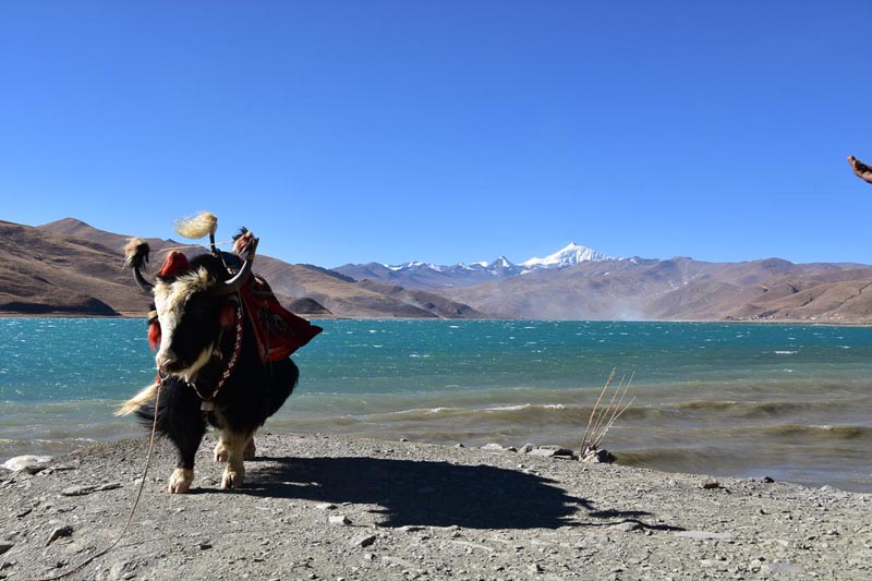 yak at yamdrok lake | visit tibet