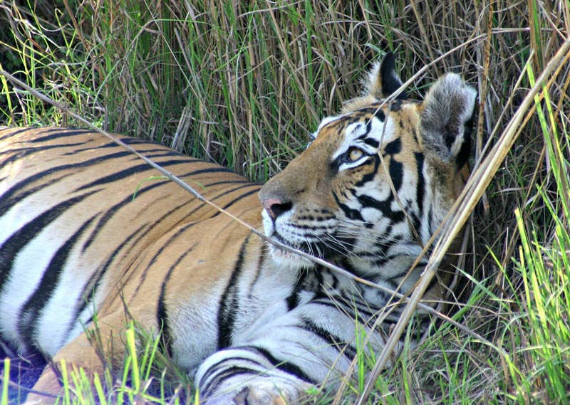 royal bengal tiger relaxed but aware of my presense