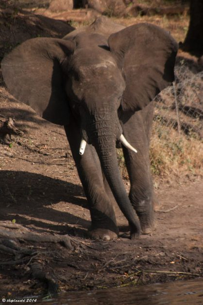 elephant victoria falls