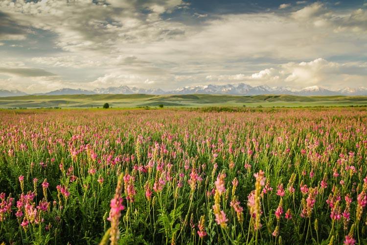 Kyrgyzstan travel   flowers in a field