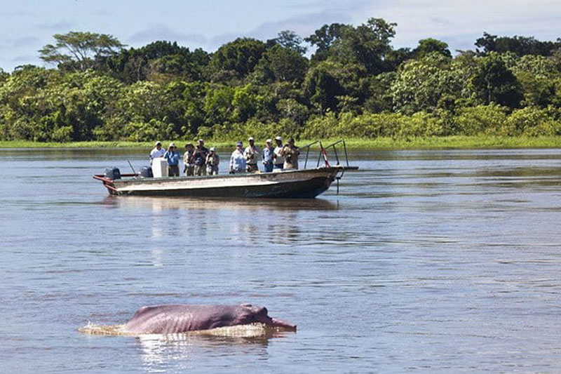 pink dolphins of amazon river