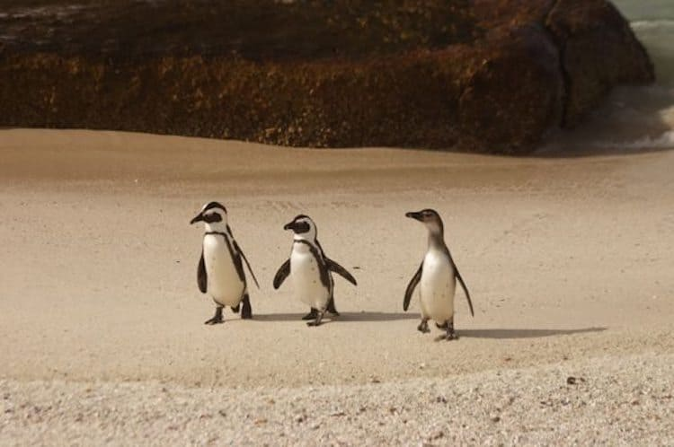 where to volunteer in cape town south africa | penguins