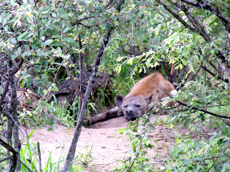 volunteering africa hyena