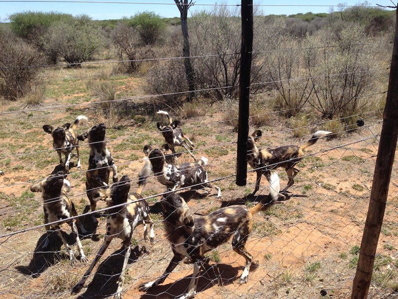 wild dogs africa