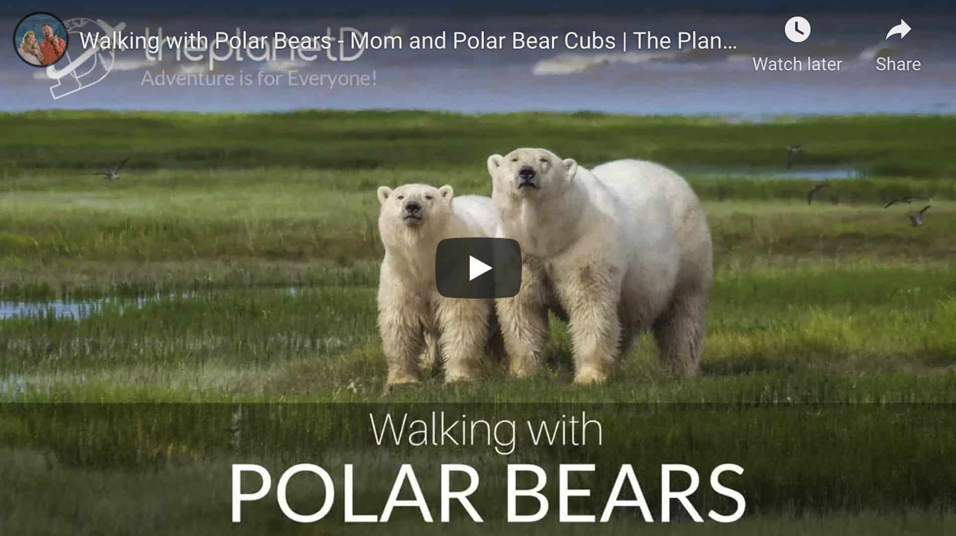 walking with polar bears
