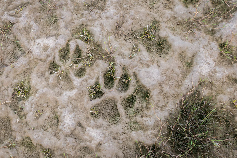 walking with polar bears paw print