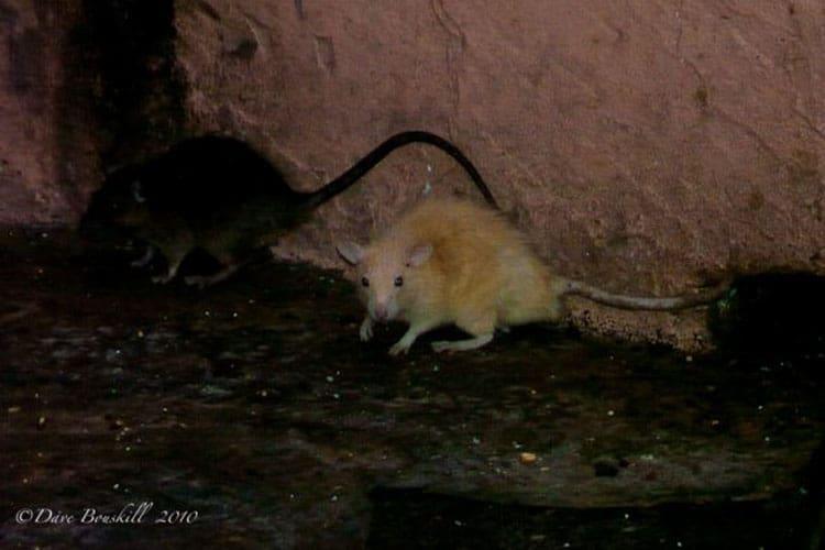 Lucky white rat of karni mata rat temple