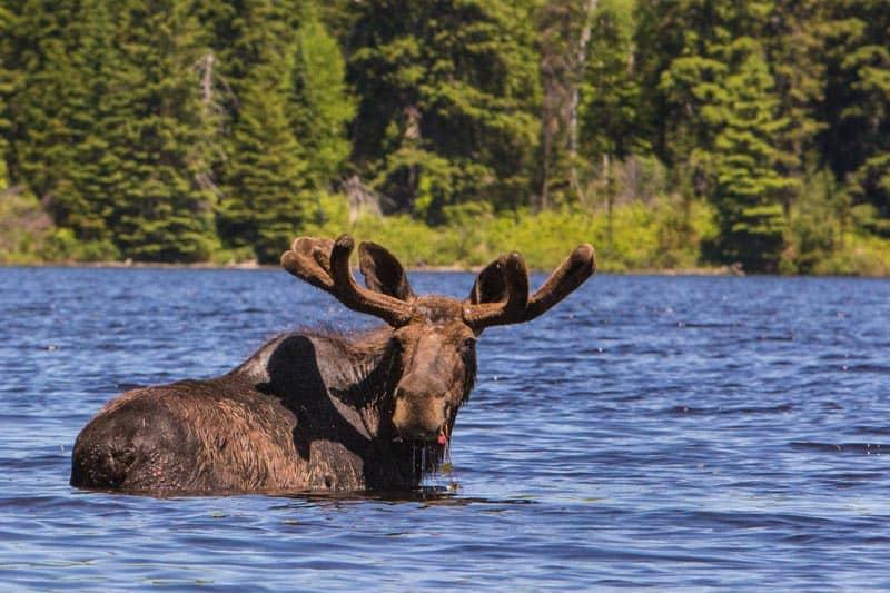 big five safari moose