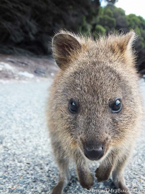 wildlife encounters in Western Australia - quokka