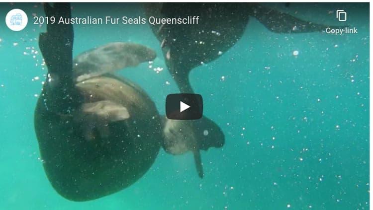 wildlife in australia fur seals