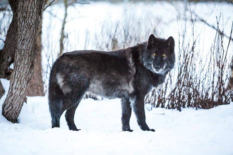 winter things to do in alberta wolf dog sanctuary