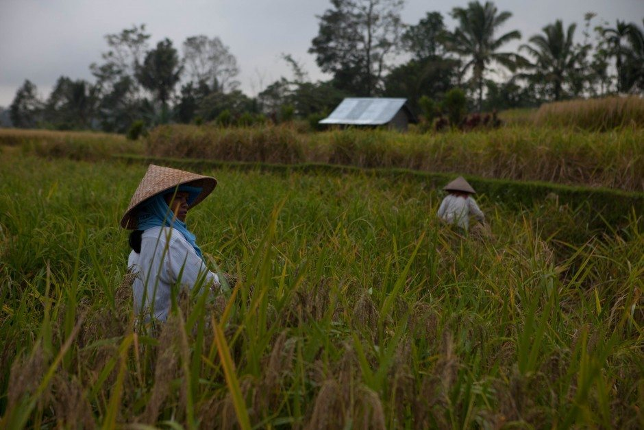 women in rice fields of bali