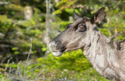 woodland caribou ontario animal