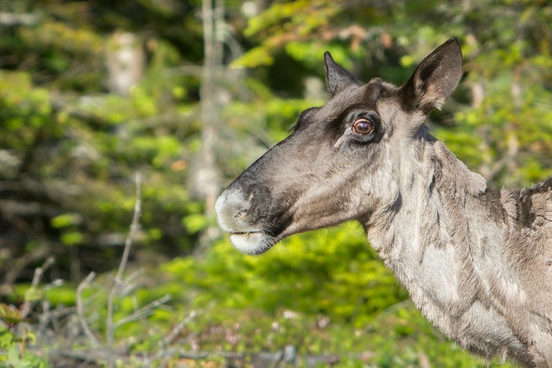 The Rare Woodland Caribou of the Slate Islands