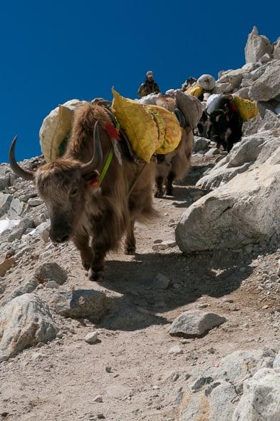 yaks hialayas ebc trek pictures