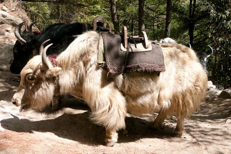 photo of yak on everest base camp trek