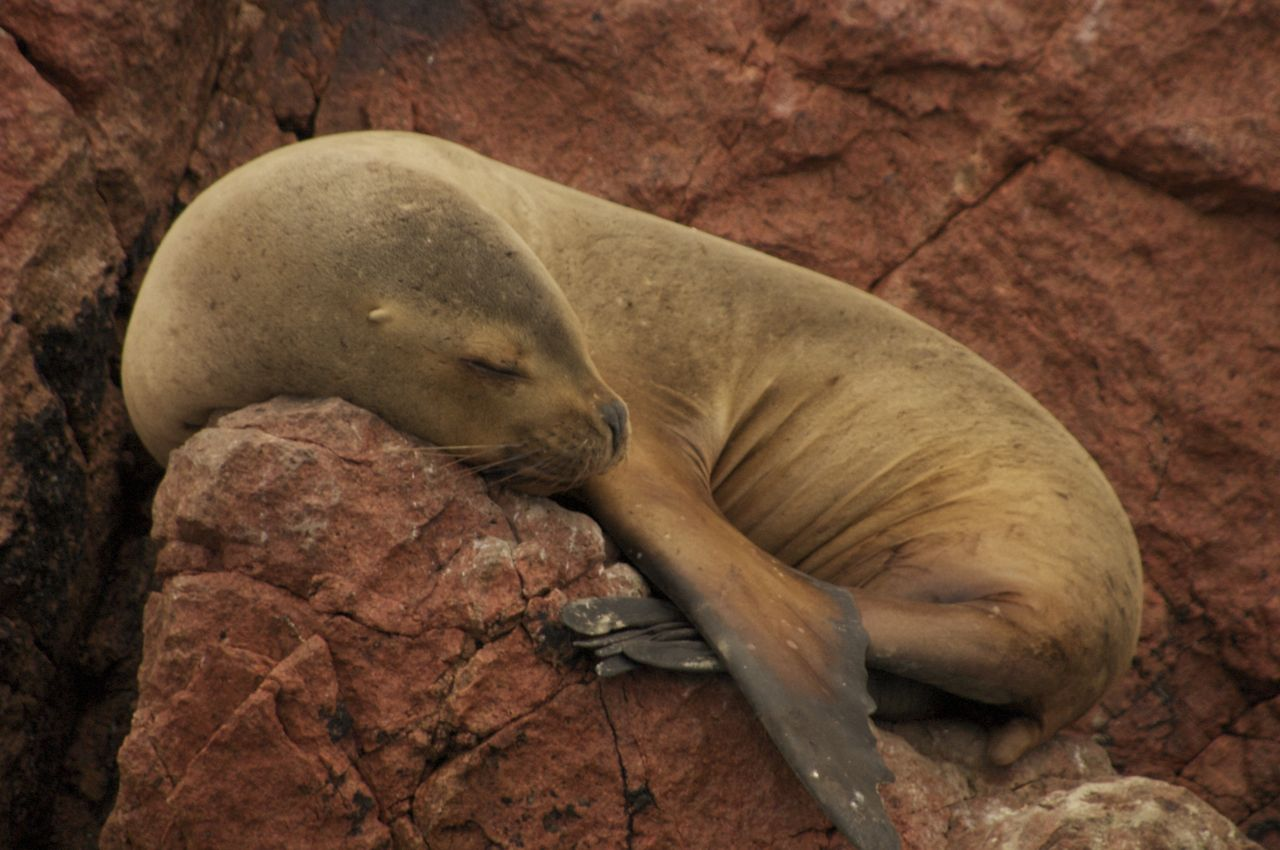 A seal takes a nap off the coast of Peru