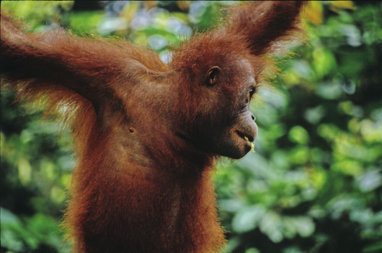 The Orangutan floats fro tree to tree in Borneo