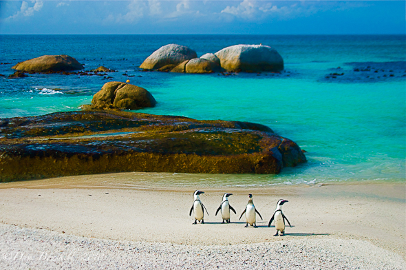 The Penguins of Simonstown, South Africa