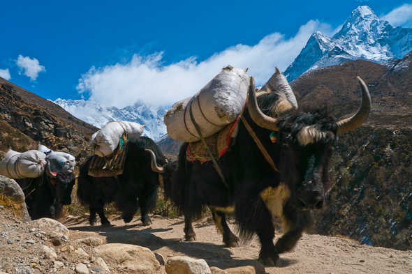yak train on ECBC trail in Nepal