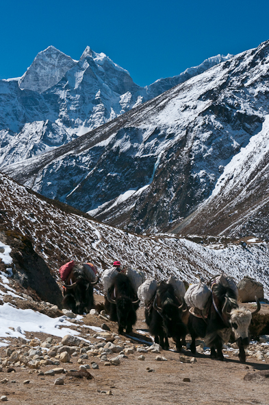 yaks at high altitude