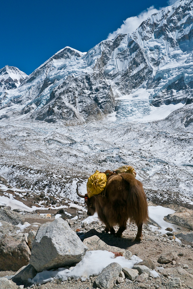 lone yak walking in Himalayas